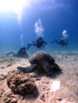 海亀と泳ぐ