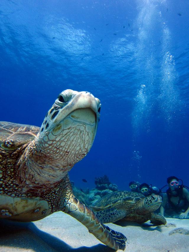 ハワイでウミガメと体験ダイビング