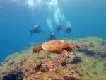 海亀とハワイダイビング