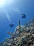 海亀とダイビング