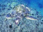 フレンドリーなハワイの海亀