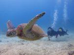 海亀とハワイでダイビング
