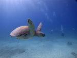 ハワイの海は海亀天国