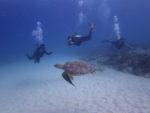 ハワイで海亀と一緒にダイビング